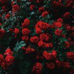 röda rosor inför bröllopet